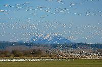 Flocks of Snow Geese (Chen caerulescens) in Skagit Valley Washington
