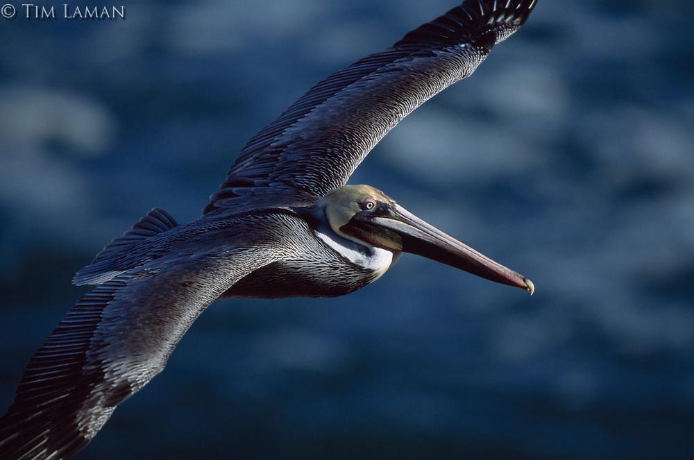 A brown pelican (Pelecanus Occidentalis) with breeding plumage in flight.