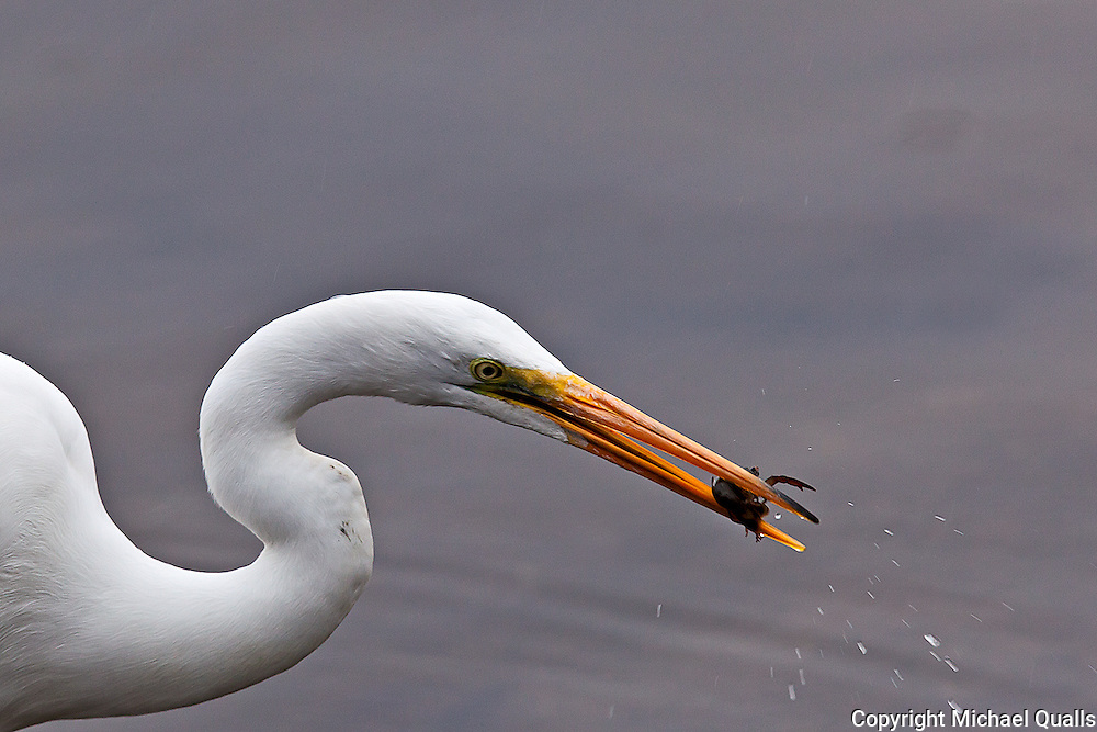 Great Egret with small catch - a crawdad from the shores of Lake Murray.
