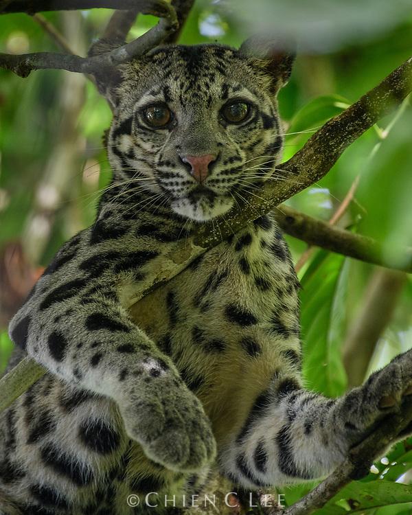 Sunda Clouded Leopard (Neofelis diardi), female. Kinabatangan Wildlife Sanctuary, Sabah, Malaysia (Borneo).