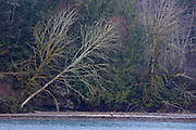 An adult bald eagle (Haliaeetus leucocephalus) rests under a bare leaning tree along the Nooksack River in the North Cascades near Deming, Washington.