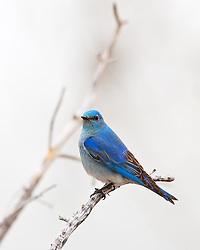 Mountain Bluebird Yellowstone National Park