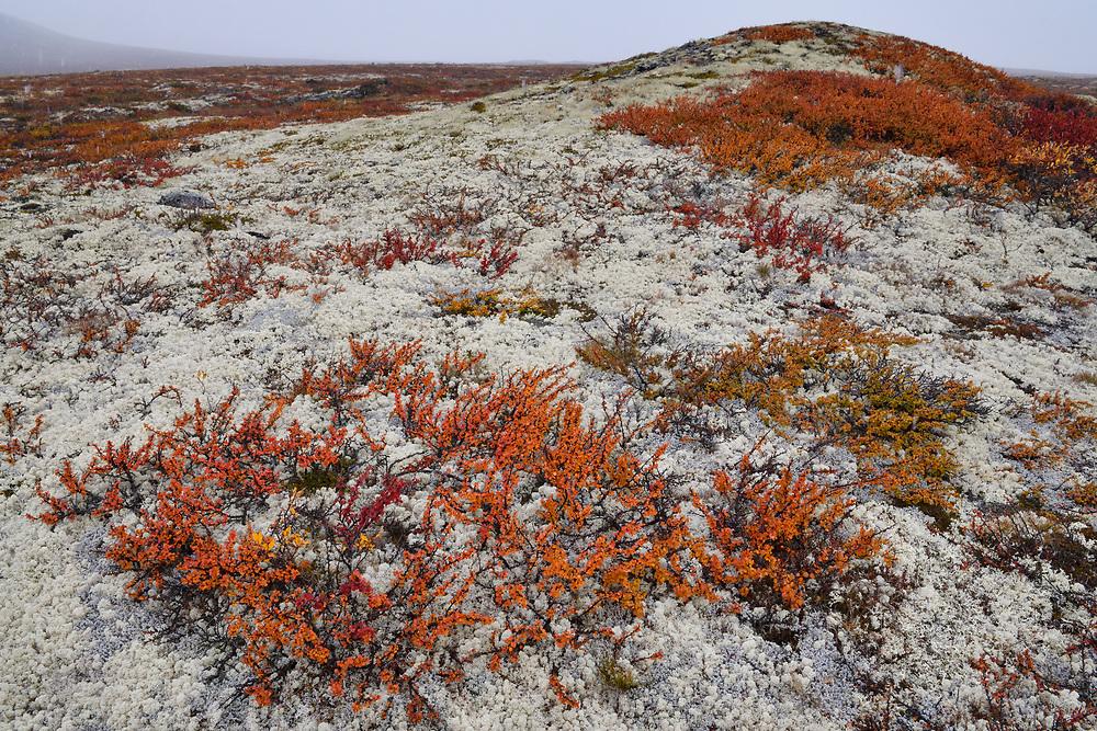 Dwarf birch bush tundra, Betula nana, Dovrefjell National Park, Norway