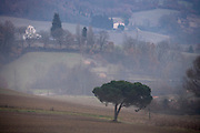 lone pine tree in agricultural landscape