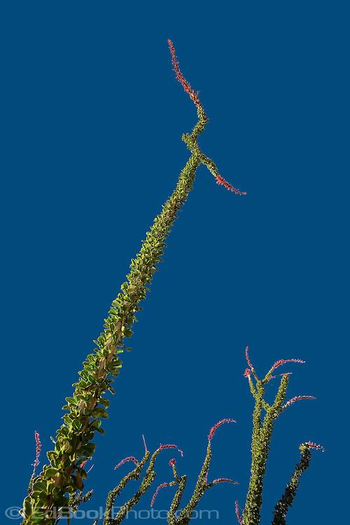 Ocotillo branch towering over its neighbors in the Anza Borrego Desert, California, USA