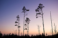 Silhouette of trees against sunset, Salt Point state park, Sonoma county, California