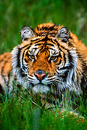 Close-up of Siberian tiger in grass, staring intently, [captive, controlled conditions] © David A. Ponton