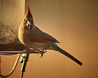 Female Northern Cardinal at a bird feeder. Image taken with a Nikon D5 camera and 600 mm f/4 VR lens (ISO 360, 600 mm, f/4, 1/1250 sec).