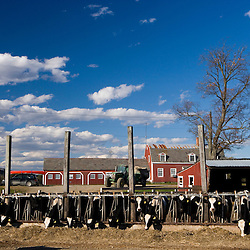 Holsteins at Boggy Meadow Farm in Walpole, New Hampshire.