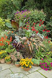 Group of autumn flowering containers at Great Dixter including Pennisetum setaceum 'Rubrum', Aeonium 'Zwartkop' syn. 'Schwarzkopf', Pseudopanex lessonii 'Gold Splash' and Tibouchina urvilleana with salvias, enseta, dahlias and fuchsias