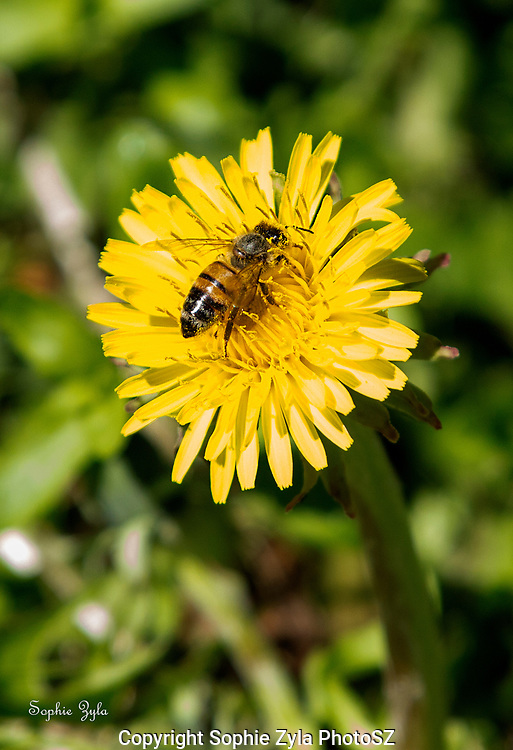 Value of dandelions to bees