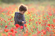 A two year old toddler in a field of spring poppies