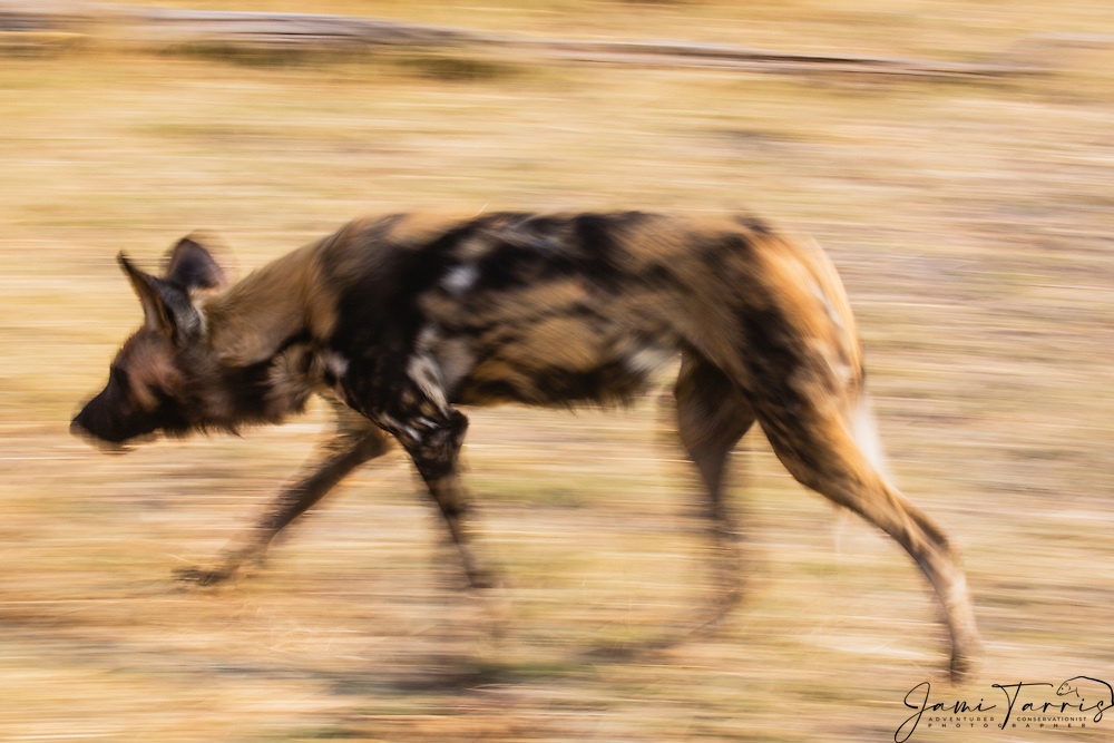 A motion blur of an African Wild Dog (Lycaon pictus) running during an early morning hunt, Moremi Game Reserve,Botswana, Africa