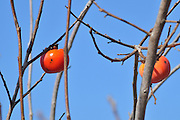 Israel, Persimmon trees in a plantation Winter January 2008