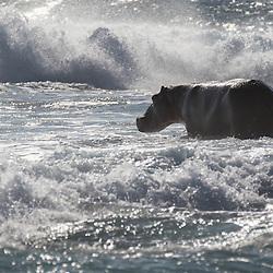 Hippopota, Hippo, Hippopotamus amphibius<br /> Dans les vagues de l'ocean Indien, Afrique du Sud