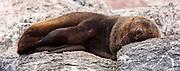 Antarctic fur seal (Arctocephalus gazella), sleeping at Gourdin Island, Antarctica