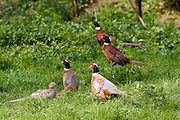 Female pheasant surrounded by males, The Cotswolds, Oxfordshire, United Kingdom
