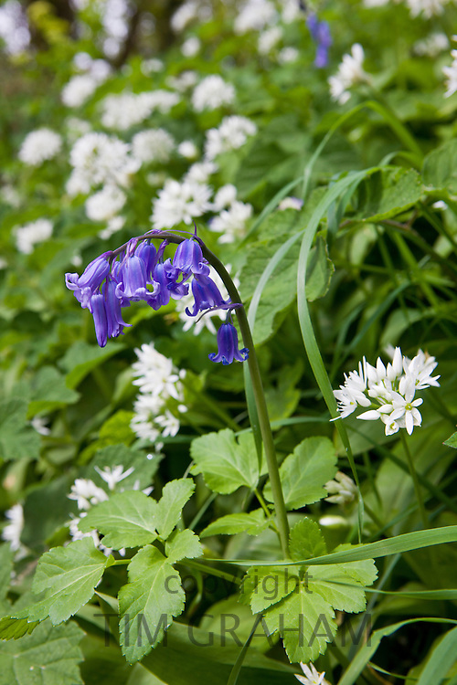 Ramsons wild garlic, Allium Ursinum with bluebell in wild hedgerow, Cornwall, England, UK