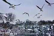 seagulls;birds;flying;hampstead heath;park;parks;people;snow;winter;cold;weather;London;England; uk;english;british