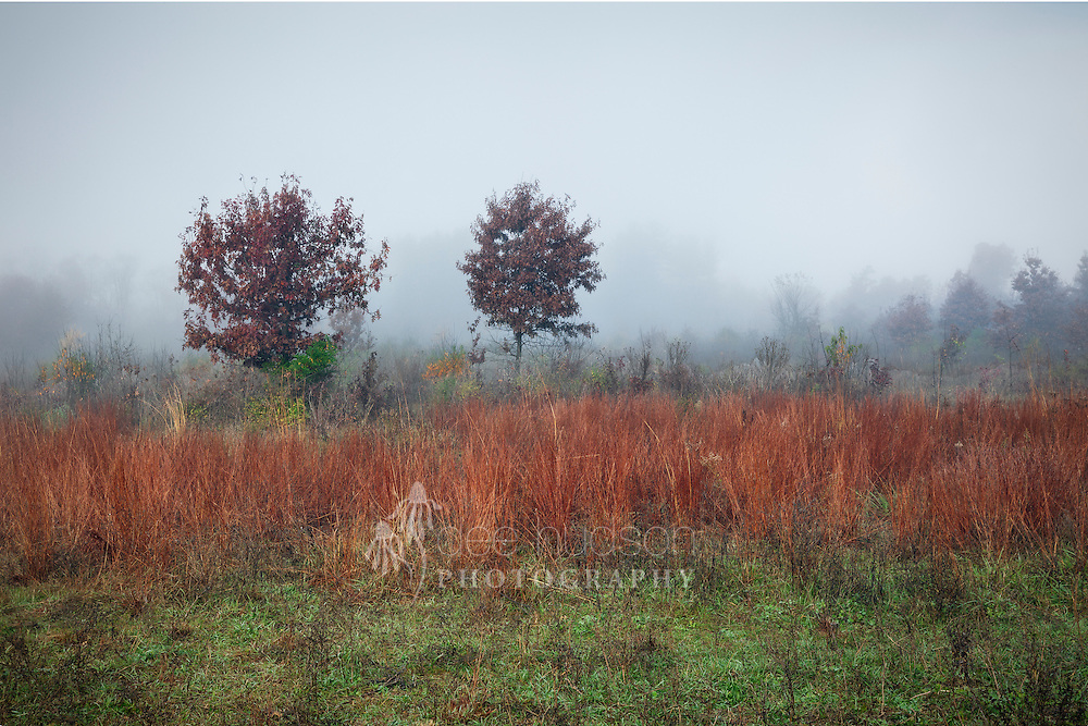 As the morning fog lifts, the little bluestem grass emerges in all its autumn orangey–red glory.
