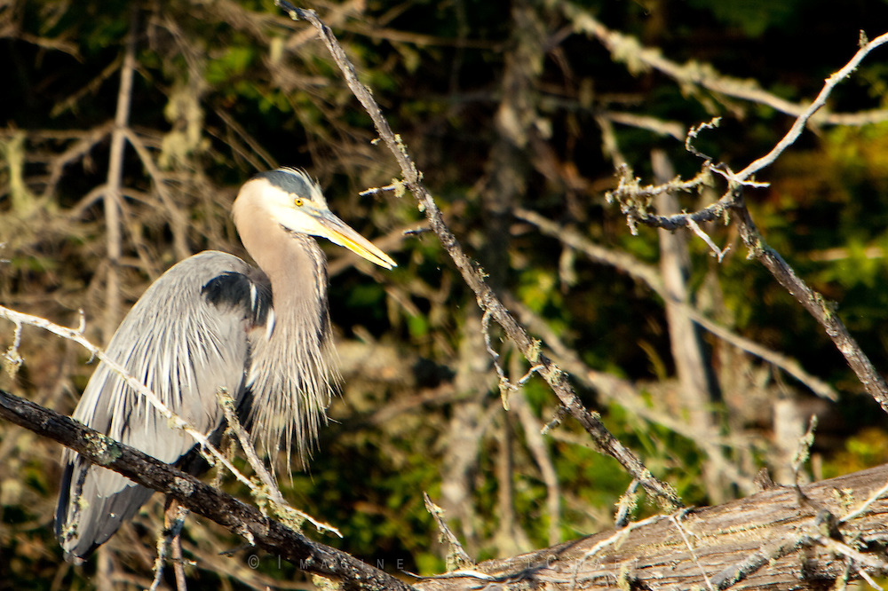 Blue Heron stalking in the morning sun on a Canadian lake.