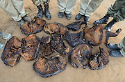 Confiscated bushmeat of Red river hog (Potamochoerus porcus) & water chevrotain (Hyemoschus aquaticus)<br /> Yengo Eco Guard control point<br /> Odzala - Kokoua National Park<br /> Republic of Congo (Congo - Brazzaville)<br /> AFRICA<br /> Locally endangered species