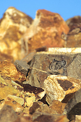Pika On Rock (talus)