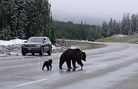 The grizzly sow known to wildlife watchers as Felicia, and biologists as Bear 863, saunters down Highway 26 on Togwotee Pass with her cub in May. The bear emerged from hibernation with two cubs of the year, but one disappeared about two weeks ago and is presumed dead.