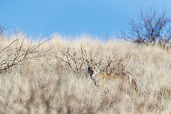 Coyote in winter coat blending into winter grasses on hillside, Ladder Ranch, west of Truth or Consequences, New Mexico, USA.