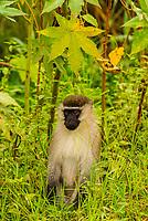 Vervet monkey, Katunguru, Kasese Disgtrict, Uganda.