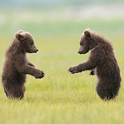 Alaskan Brown Bear cub siblings in Alaska.