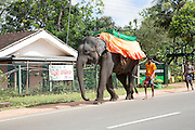 Chained elephant being walked by keeper along a main road in Sri Lanka, Asia