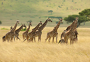 A distant view of a herd of Masai giraffes in a savanna in Kenya