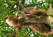 The thick red fur of a Sumatran orangutan is accentuated in this view of a large male with cheek pads perched on a tree limb.