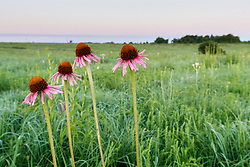 Black Samson or narrow-leaf coneflowers (Echinacea angustifolia DC.) in Blackland Prairie at Clymer Meadow Preserve, Texas Nature Conservancy, Greenville, Texas, USA.
