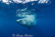 Bryde's whale, Balaenoptera brydei or Balaenoptera edeni, with throat pleats expanded after feeding on baitball of sardines, Sardinops sagax, off Baja California, Mexico ( Eastern Pacific Ocean ) #5 in sequence of 9