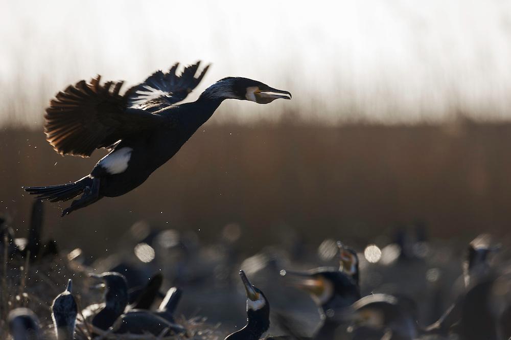 Great Cormorant (Phalacrocorax carbo sinensis), Ijsselmeer, The Netherlands