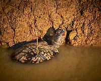 Red Eyed Turtle with Yellow Spots Sunning Itself in the Early Morning Sun. Image taken with a Fuji X-T1 camera and 100-400 mm OIS lens (ISO 200, 400 mm, f/5.6, 1/420 sec).