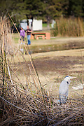 Great Blue Heron At El Dorado Regional Park In Long Beach