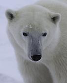 Polar Bears & Churchill, Manitoba