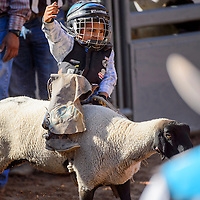 080515       Cable Hoover<br /> <br /> Wooly rider Cooper Jake holds tight as his sheep sprints from the chute during the junior rodeo Wednesday at Red Rock Park in Gallup.
