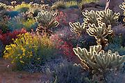 Brittlebush, Jumping Cholla, and Chuparosa in Plum Canyon, Anza-Borrego Desert State Park, California USA