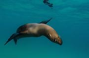 Galapagos Sealion (Zalophus wollebaeki) underwater<br /> GALAPAGOS, <br /> ECUADOR. South America<br /> ENDEMIC