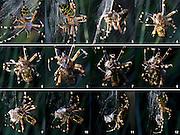 Female wasp spider (Argiope burennichi) wrapping a male suitor in silk. Dorset, UK.