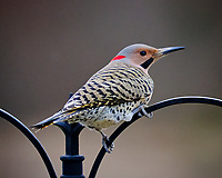 Northern Flicker. Image taken with a Fuji X-T3 camera and 200 mm f/2 lens and 1.4x teleconverter (ISO 3600, 280 mm, f/2.8, 1/500 sec)