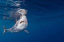 shortfin mako shark, Isurus oxyrinchus, very aggressive and the fastest swimmer of all shark species, San Diego, California, USA, Pacific Ocean