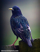 Starling, shot through the kitchen window blinds - hence vignetting!.Lahinch, Co. Clare