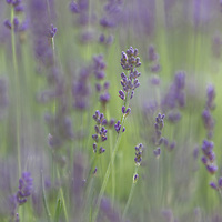 Endless fields of lavender swaying in the summer breeze!