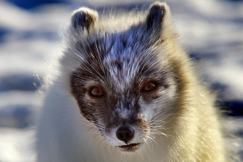 Noruega. Islas Svalbard. Longyearbyen.<br /> Retrato de un zorro Ártico en la capital de las islas Svalbard, Longyearbyen.<br /> <br /> © JOAN COSTA