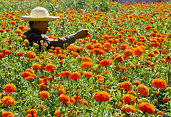 August 15, 2017 - Zhangye, Zhangye, China - Zhangye, CHINA-August 15 2017: (EDITORIAL USE ONLY. CHINA OUT) ..Peasants are busy with picking chrysanthemum flowers in Zhangye, northwest China's Gansu Province, August 15th, 2017. (Credit Image: © SIPA Asia via ZUMA Wire)
